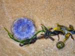 Natural beach composition - jellyfish and weed