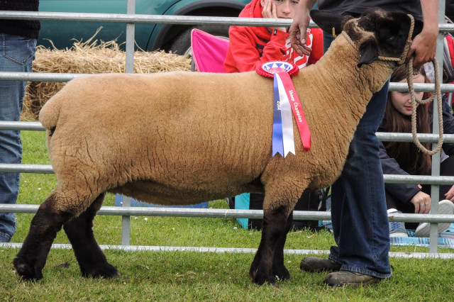Champion of the Yard was this Suffolk ewe