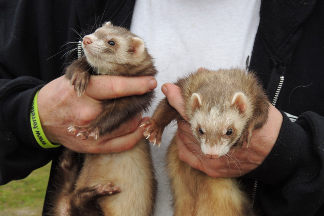 The ferrets and...