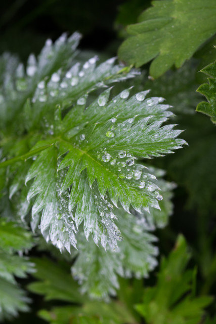 Droplets on Silverweed