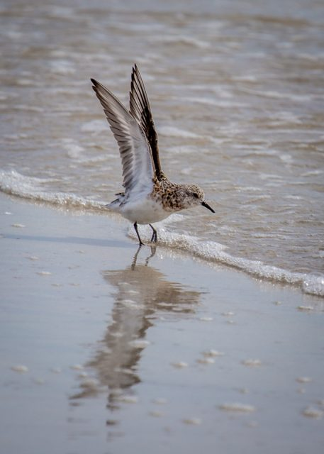 Sanderling in Summer plumage (one I made earlier - in May)